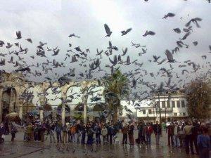 damascus-pigeons