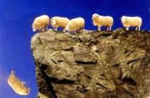 sheep falling